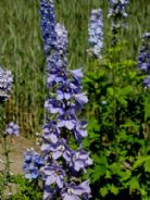 Delphinium Guinevere Appx 50 seed
